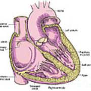 Illustration Of Heart Anatomy Art Print