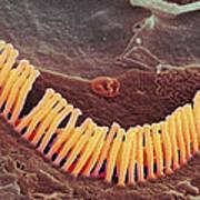 Inner Ear Hair Cells, Sem Art Print