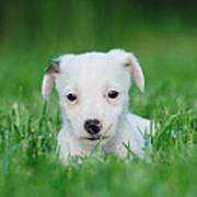 Jack Russell Terrier Puppy Art Print