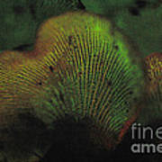 Luminescent Mushroom Panellus Stipticus Art Print