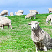 Sheeps Art Print