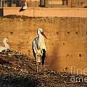 Storks In Marrakech Art Print