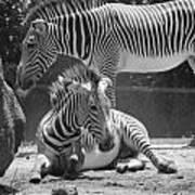 Zebras In Black And White Art Print