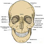 Illustration Of Anterior Skull Art Print by Science Source