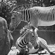 Zebras In Black And White Art Print
