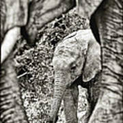 African Elephant In The Masai Mara Art Print