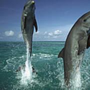 Bottlenose Dolphin Tursiops Truncatus Art Print