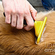 Dog Grooming Art Print by Photo Researchers, Inc.