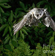 Tufted Titmouse In Flight Art Print