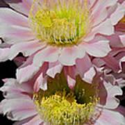 Pink Cactus Flowers Art Print