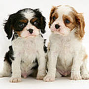Puppies Print by Jane Burton