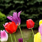 Tulip Garden University Of Pittsburgh  Art Print