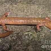 West Virginia Spring Salamander Art Print