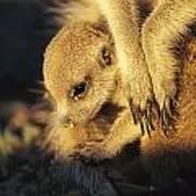 A Baby Meerkat Snuggles Art Print