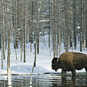 A Bison Stands In A Cold  Stream Art Print