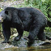 A Black Bear, Ursus Americanus, Walks Art Print