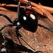 A Black Widow Spider Latrodectus Art Print by George Grall
