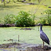 A Blue Bird In A Wetland -yellow-crowned Night Heron  Art Print