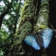 A Blue Morpho Butterfly Art Print