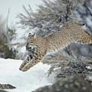 A Bobcat Leaps With A Horned Lark Art Print