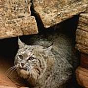 A Bobcat Pokes Out From Its Alcove Art Print