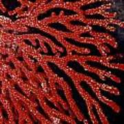 A Bright Red Gorgonian Soft Coral Art Print