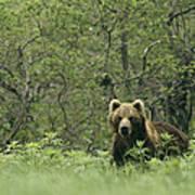 A Brown Bear In Tall Grasses Art Print