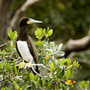 A Brown Booby Sula Leucogaster Art Print by Tim Laman