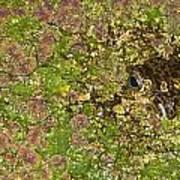 A Bullfrog Rana Catesbeiana Hiding Art Print