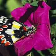 A Butterfly Lands On A Pink Flower Art Print