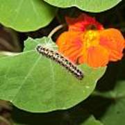 A Caterpillar Eating The Leaves Of A Plant With A Beautiful Orange Flower Art Print