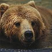 A Close View Of A Captive Kodiak Bear Art Print