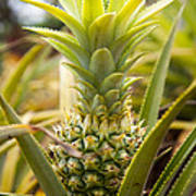 A Close View Of A Tainung Pineapple Art Print