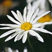 A Close View Of A Wild Daisy Art Print