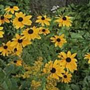 A Close View Of Black-eyed Susans Art Print