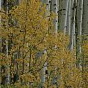 A Close View Of Quaking Aspen Trees Art Print