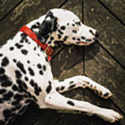 A Dalmatian Sleeping On A Wooden Deck Art Print