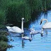 A Family Of Trumpeter Swans Swims Art Print