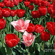 A Field Of Tulips Series 3 Art Print