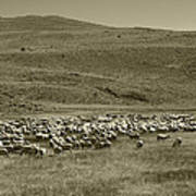 A Flock Of Sheep 4 Art Print by Philip Tolok