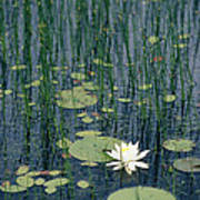 A Flowering Water Lily In Black Art Print