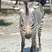 A Focused Zebra Art Print