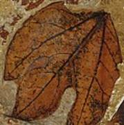 A Fossilized  Sassafras Leaf Art Print