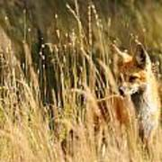 A Fox In A Field Art Print