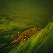 A Freshwater Stingray Swims In A Meadow Art Print