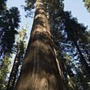 A Giant Redwood In The Mariposa Grove Art Print