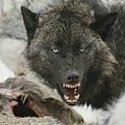A Gray Wolf, Canis Lupus, Growls Art Print