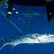A Great Barracuda Beneath A Boat, Kimbe Art Print