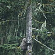 A Grizzly Bear Clings To A Fir Tree Art Print