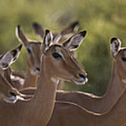 A Group Of Alert Impalas In Samburu Art Print